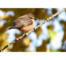 Vermilion Flycatcher ~ 1st Winter Male Photographic Print