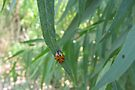Convergent Lady Beetle by Kimberly Chadwick