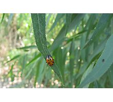 Convergent Lady Beetle Photographic Print