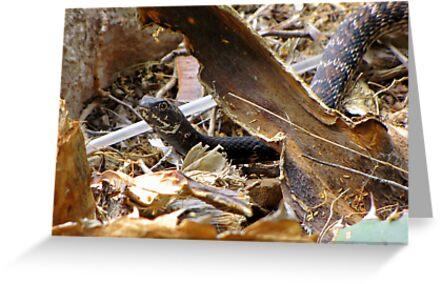 Common Kingsnake ~ (Lampropeltis getulas) by Kimberly Chadwick