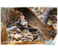 Common Kingsnake ~ (Lampropeltis getulas) Poster