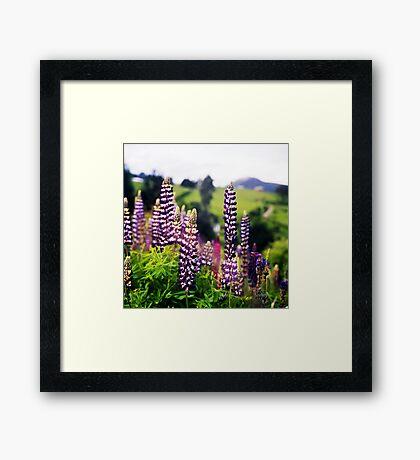 Wild Lupin Framed Print