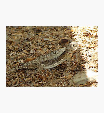 Horned Lizard ~ Desert Photographic Print