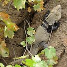 Sonoran Spiny-tailed Iguana ~ 2 (Male) by Kimberly Chadwick