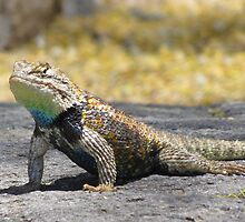 Desert Spiny Lizard ~ Male by Kimberly Chadwick