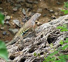 Greater Earless Lizard ~ Male by Kimberly Chadwick
