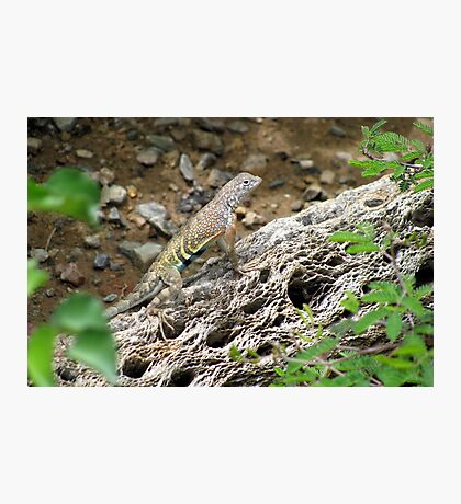 Greater Earless Lizard ~ Male Photographic Print
