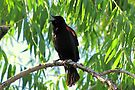 Red-winged Blackbird ~ Male Singing by Kimberly Chadwick