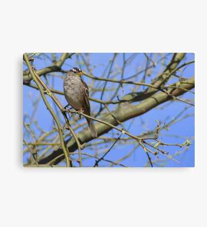 White-crowned Sparrow ~ Adult II Canvas Print