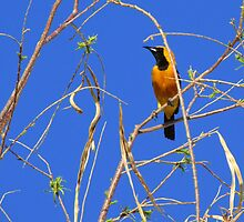 Hooded Oriole ~ Male by Kimberly Chadwick