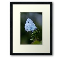 Holly blue butterfly egg laying. Framed Print