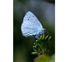 Holly blue butterfly egg laying. Photographic Print