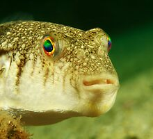 Swansea Toadfish by Matt-Dowse