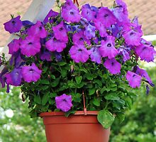 Hanging Basket with Velvety Purple Petunias by BlueMoonRose