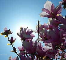 Magnolia Noon | Center Moriches, New York  by © Sophie W. Smith
