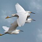 Little Flock Of Egrets by Kathy Baccari