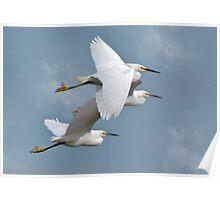 Little Flock Of Egrets Poster