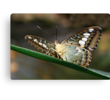 Under my Wings Clipper - Parthenos sylvia Canvas Print