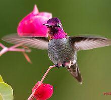Anna's Hummingbird 1 by Philip Lowe