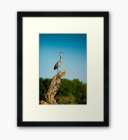 Black headed Heron - Perched Framed Print