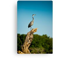 Black headed Heron - Perched Canvas Print