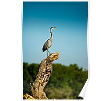 Black headed Heron - Perched Poster