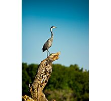 Black headed Heron - Perched Photographic Print
