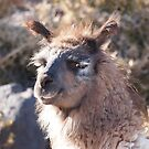 Llama, Chile by Natasha M