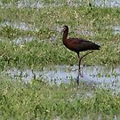 White-faced Ibis by Kimberly Chadwick