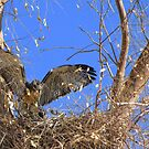 Red-tailed Hawk ~ Babies XII by Kimberly Chadwick