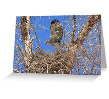 Red-tailed Hawk ~ Babies IX Greeting Card