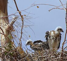 Red-tailed Hawks ~ Babies V by Kimberly Chadwick