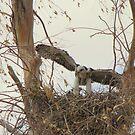 Red-tailed Hawks ~ Babies VI by Kimberly Chadwick