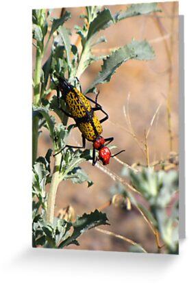 Iron-Cross Blister Beetle by Kimberly Chadwick