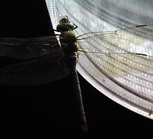 Nightowl Dragonfly by Barry Goble