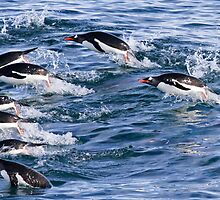 Gentoo penguins (Pygoscelis papua). swimming in the ocean by PhotoStock-Isra
