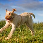 Orange & White Italian Spinone Dogs in Action III by heidiannemorris