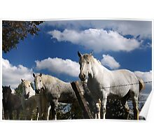 Amish work horses at rest Poster