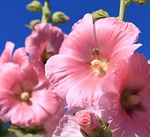Hollyhock  by RossHeywood