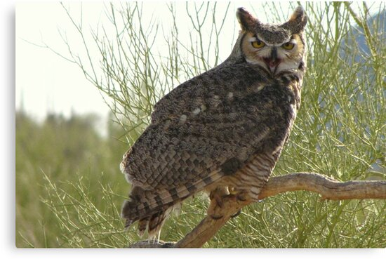 Great Horned Owl ~ Captive (4yrs) by Kimberly Chadwick