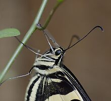 a lime butterfly in the backyard by Martina  Stoecker