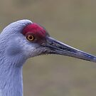 Sandhill Crane Portrait - Near Vancouver British Columbia by Stephen Stephen