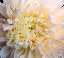 Chrysanthemum by AlyZen