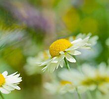 Daisy Sunshine by Sarah-fiona Helme