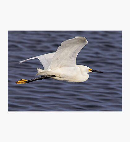 Snowy Egret In Flight Photographic Print