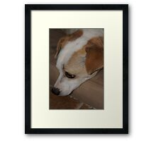 Jimmy the Jack Russell Framed Print