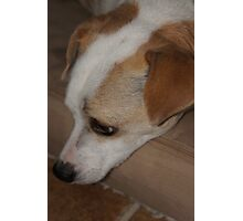 Jimmy the Jack Russell Photographic Print