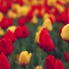Field of Tulips by HollyRuthven