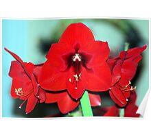 Christmas Amayllis in Bloom Poster