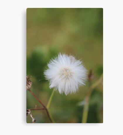 Beauty of the Dandelion Canvas Print